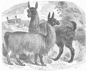 422-alpaca1.jpg